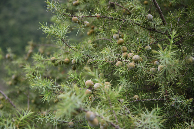 Juniperus oxycedrus - cade 32566134623_f44439a7b4_z