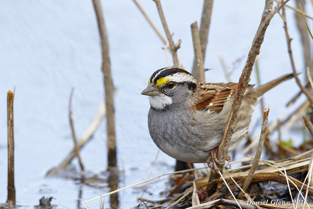 Into the swamp a White-throated Sparrow goes...