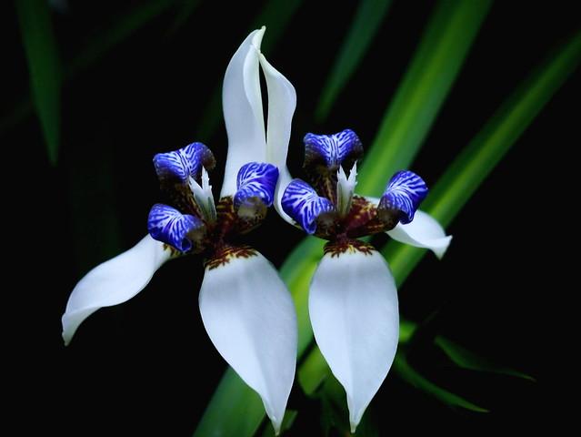 巴西鳶尾花 Walking Iris