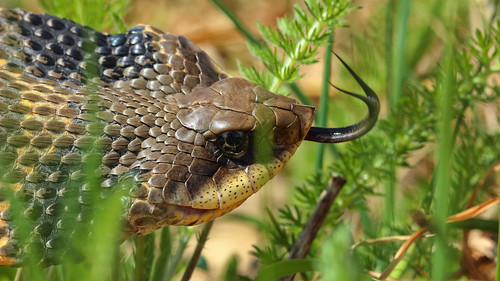 Eastern hognose snake (Heterodon platirhinos) closeup | by phl_with_a_camera1