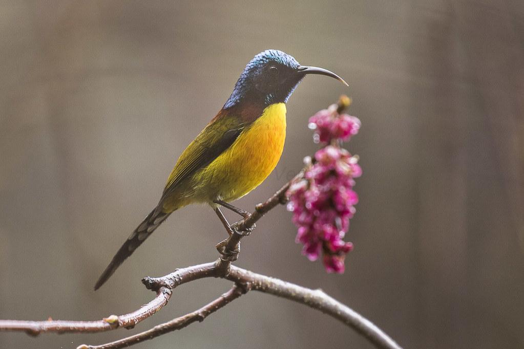 Green-tailed Sunbird - Eaglenest - India_FJ0A0900
