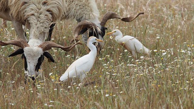 Cattle egrets - Koereigers