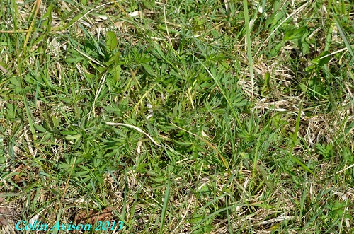 MEADOW BUTTERCUP ( Ranunculus acris) | by Tibby Man
