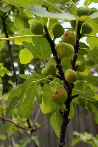 Figs | by jenniferworthen