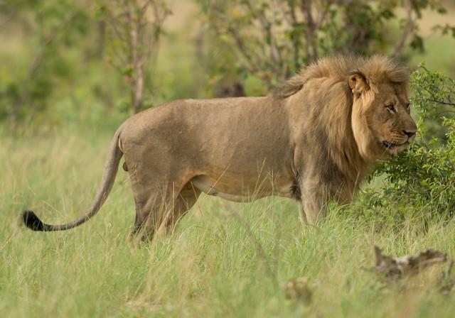 Lion, Panthera leo, Hwange National Park, Zimbabwe