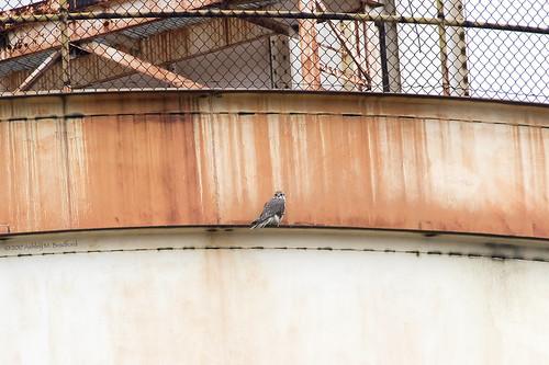 100400mm 7dmii alexandria prfa va animals birds falcon nature raptor spring s6a9517