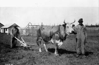 Slavey Indians plowing the Anglican mission garden, Hay River, Northwest Territories / Des membres de la tribu des esclaves labourant la terre du jardin à la mission anglicane, Hay River (Territoires du Nord-Ouest)