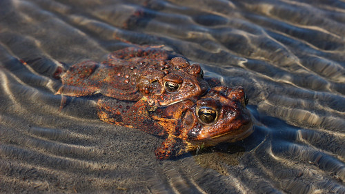 American Toad (Anaxyrus americanus) amplexus | by phl_with_a_camera1