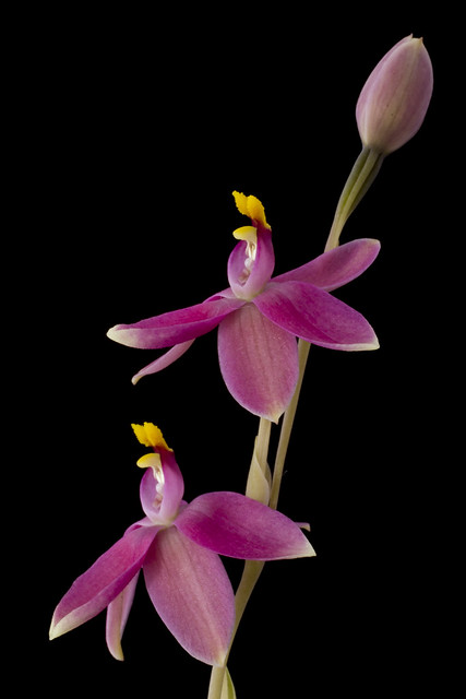 Thelymitra xmacmillanii
