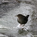 Reflections in Ice - American Dipper stands on an ice in Boulder Creek.