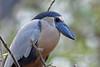 Boat-billed Heron, San Blas, Nayarit, Mexico by Terathopius