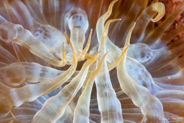 Trumpet anemone