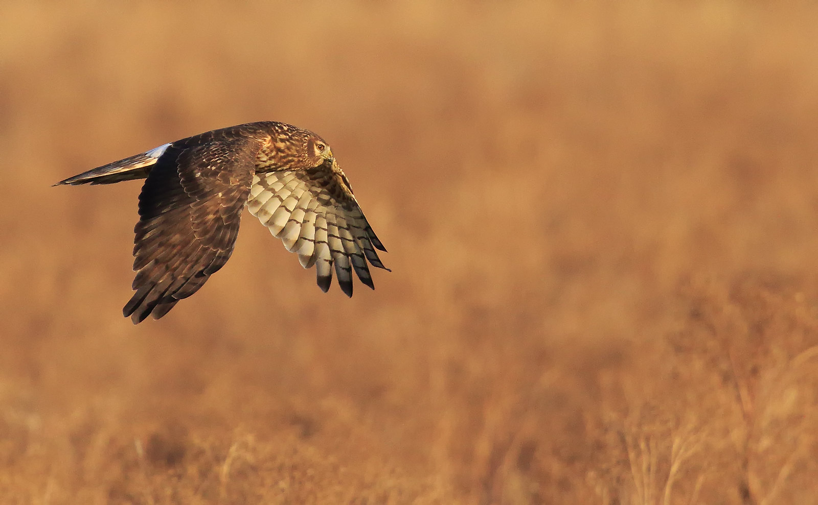 Hen Harrier [ Ringtail]