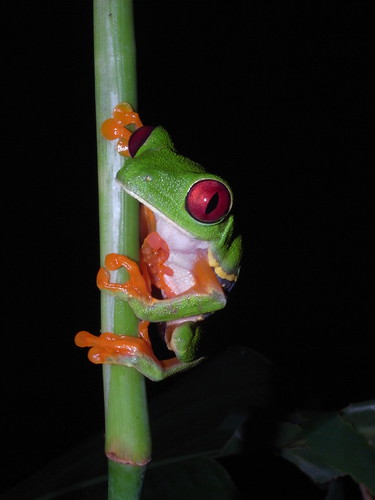 Red Eyed Tree Frog-Agalychnis callidryas | by Sahara Frost