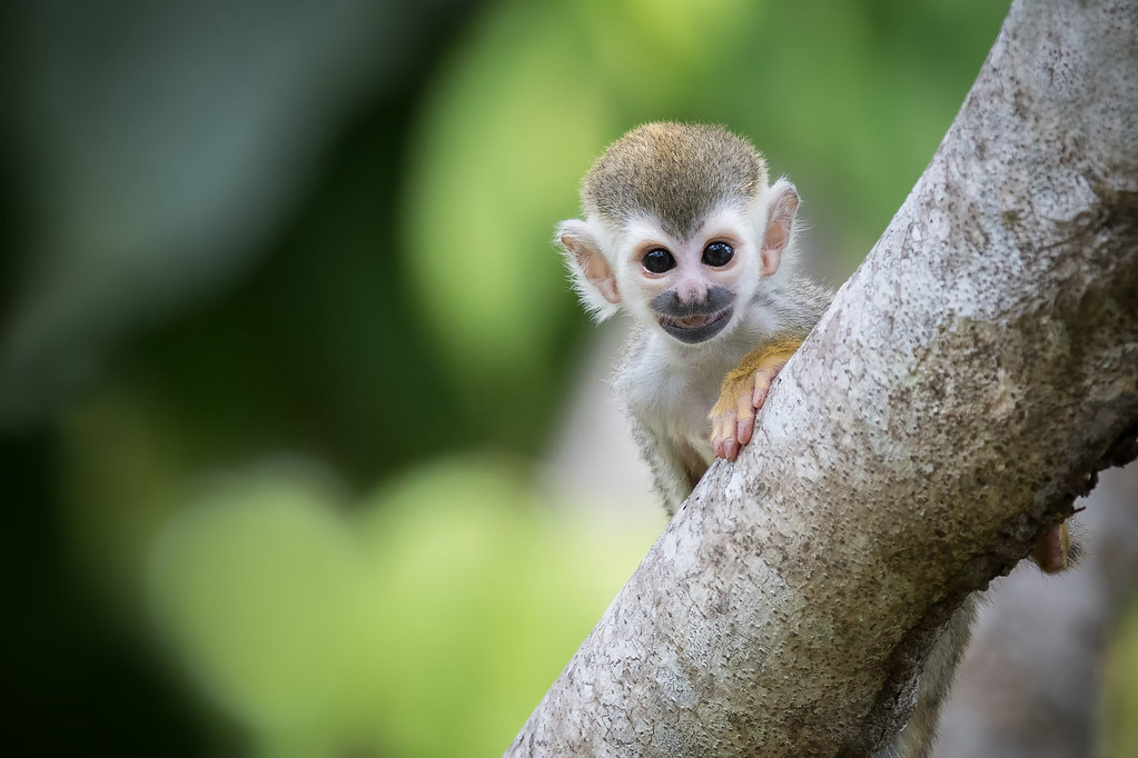 Baby Squirrel Monkey One Of The Favs Of The Trip This Guy Flickr