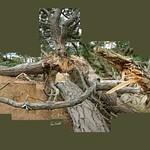 Fallen Tree #brownseaisland #nofilter #tree #nationaltrust #cerisinfield #ceriphotomontage #hockneyesque #hockneyinspired #instagrames #instalike