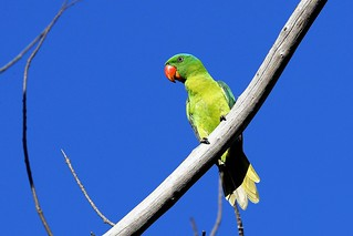 _15I2188_blue-napped parrot | by lonelyshrimp