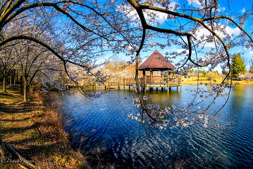 meadowlark virginia cherryblossoms cherrytrees gazebo lakecaroline spring water vienna unitedstates us