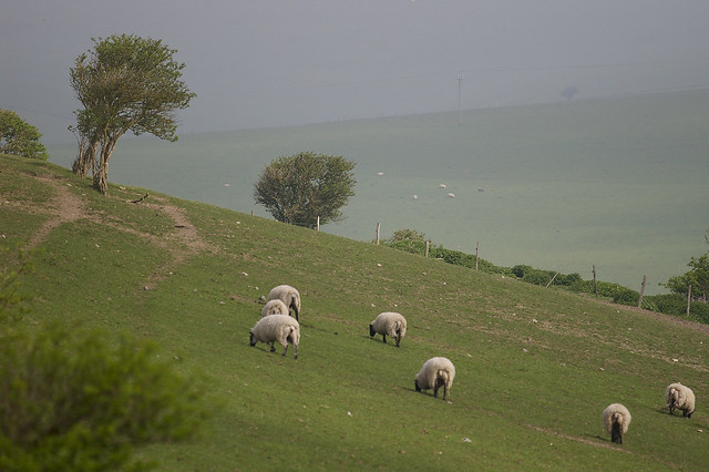 Sheep On The Sussex Downs