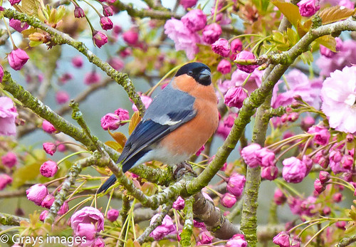 Bullfinch in the  Cherry Blossom | by grays images