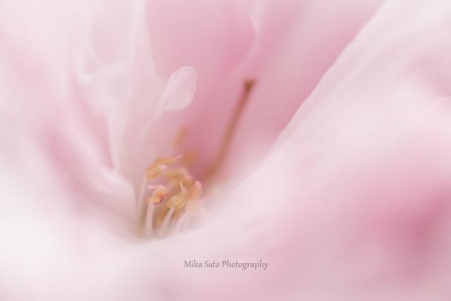 Macro Cherry Blossom