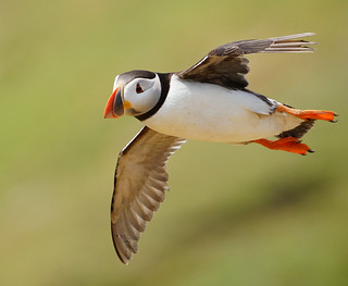 Lots more in-flight puffins coming. | by mike turtle
