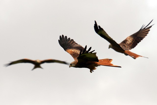 Red Kites - Gigrin Farm Wales