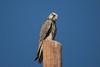 Saker Falcon (Falco cherrug) by Sergey Pisarevskiy