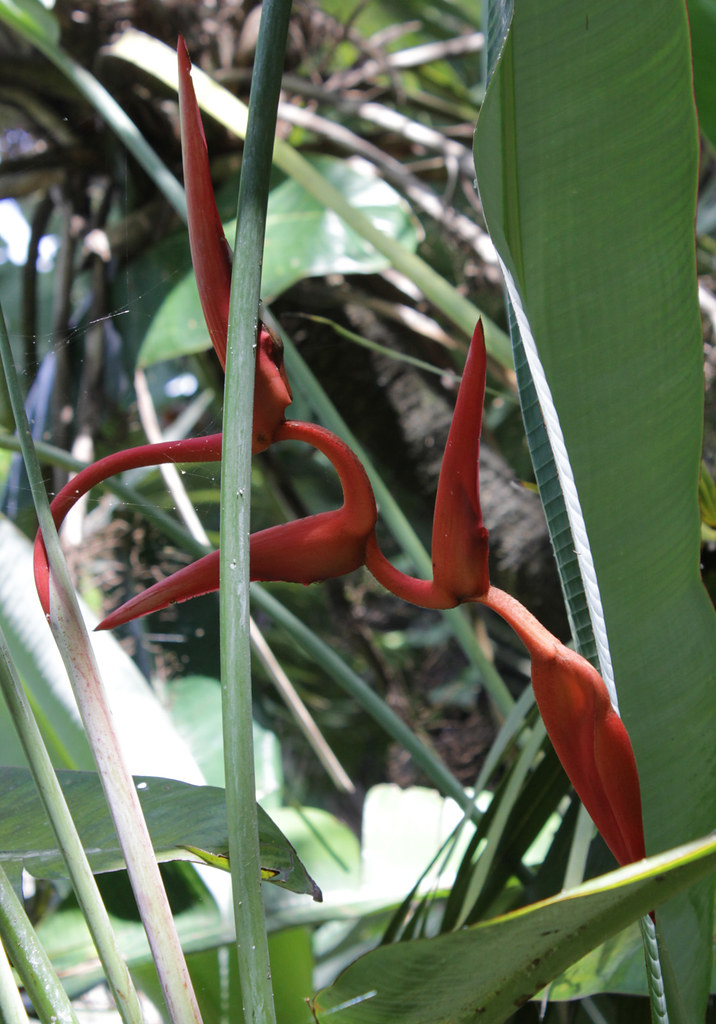 "Heliconia pendula ""Red Twist"""