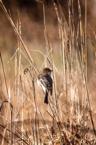 michigan unitedstates handheld morning nativelighting closecrop flycatcher
