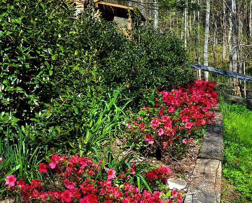 Red azeleas and Walker | by wildrosetn39