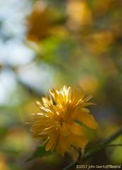 Kerria japonica / Peniflora