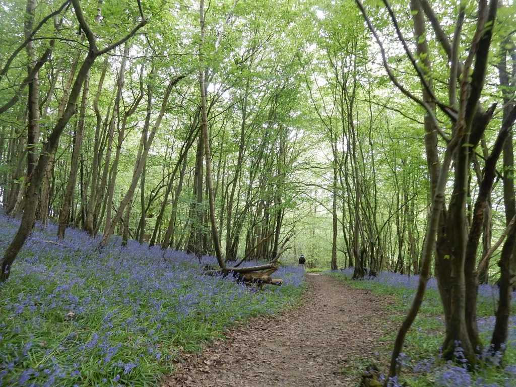 Path through bluebells Hever to Ashurst