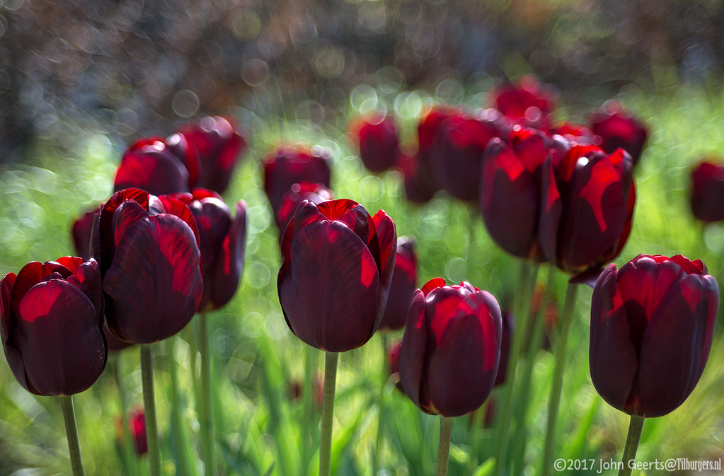 Black Red Tulips