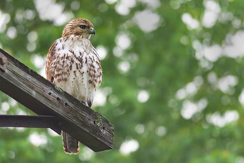 heinz redtailedhawk raptor johnheinznwr wildlife hawk bird nature philadelphia pennsylvania unitedstates us nikon d7200 buteo jamaicensis