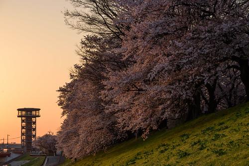 八幡市 京都府 japan kyoto cherry 桜 背割堤 淀川 川 river 日の出 sunrise