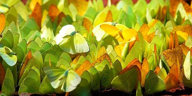 Schmetterling-Invasion,  in Brasilien (Iguassu), 66-6/2173