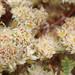 Paronychia - Photo (c) Hans Hillewaert,  זכויות יוצרים חלקיות (CC BY-NC-ND)