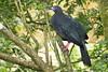 Pava negra - Black Guan - (Chamaepetes unicolor) by raulvega