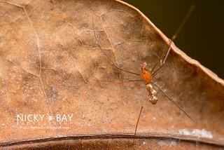 Comb-Footed Spider (Argyrodes sp.) - DSC_2258