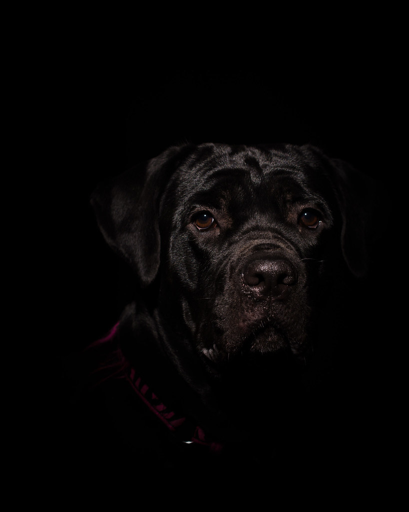 Cane_Corso_LowKey   Cane Corso 10 month old puppy low key ...