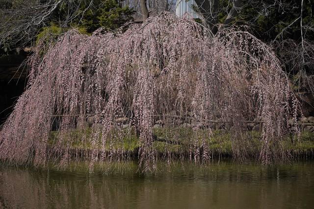日, 2017-04-02 12:20 - Brooklyn Botanical Garden