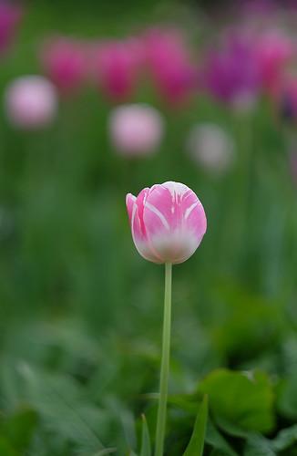 TulipesBouquetBokeh
