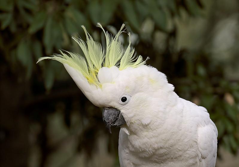 Sulphut-crested Cockatoo (Cacatua galerita)