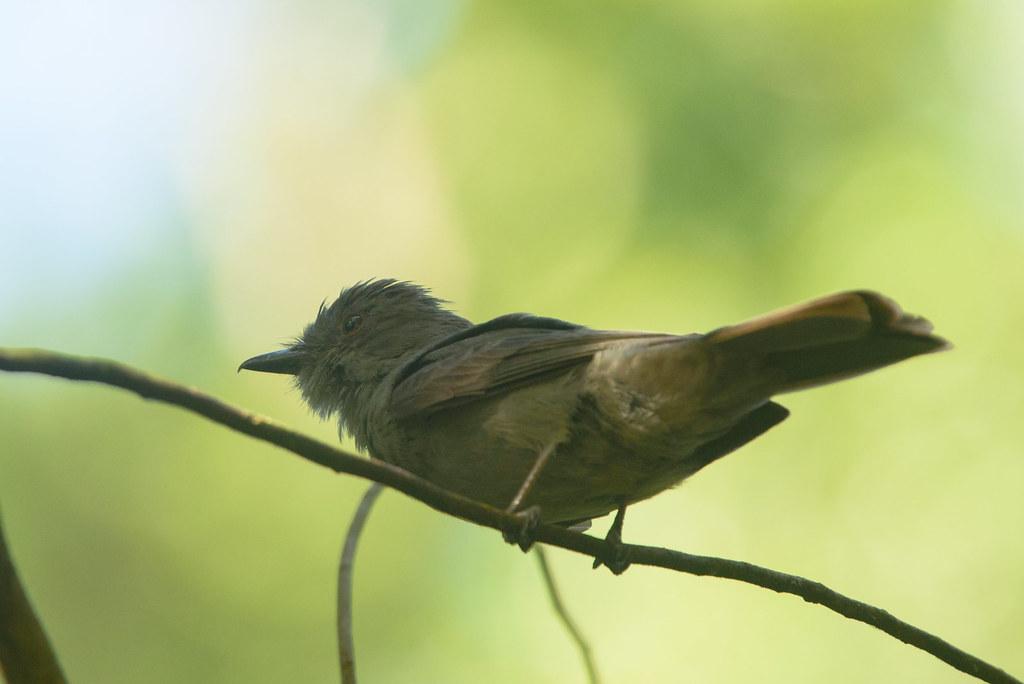 Greyish Mourner (Rhytipterna simplex)