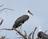 Woolly-necked Stork (Ciconia episcopus) by Lip Kee