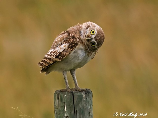 _MG_7657a Burrowing Owl