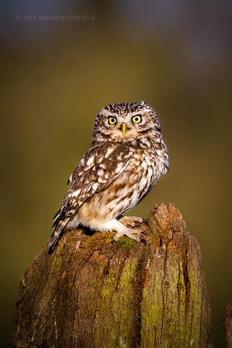 Little Owl in evening light