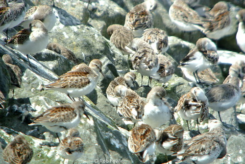 Semipalmated Sandpiper (juvenile) [with Westerns and at least one Least Sandpiper] | by Rob Fowler