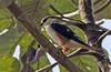 Gampsonyx swainsonii by mazama973